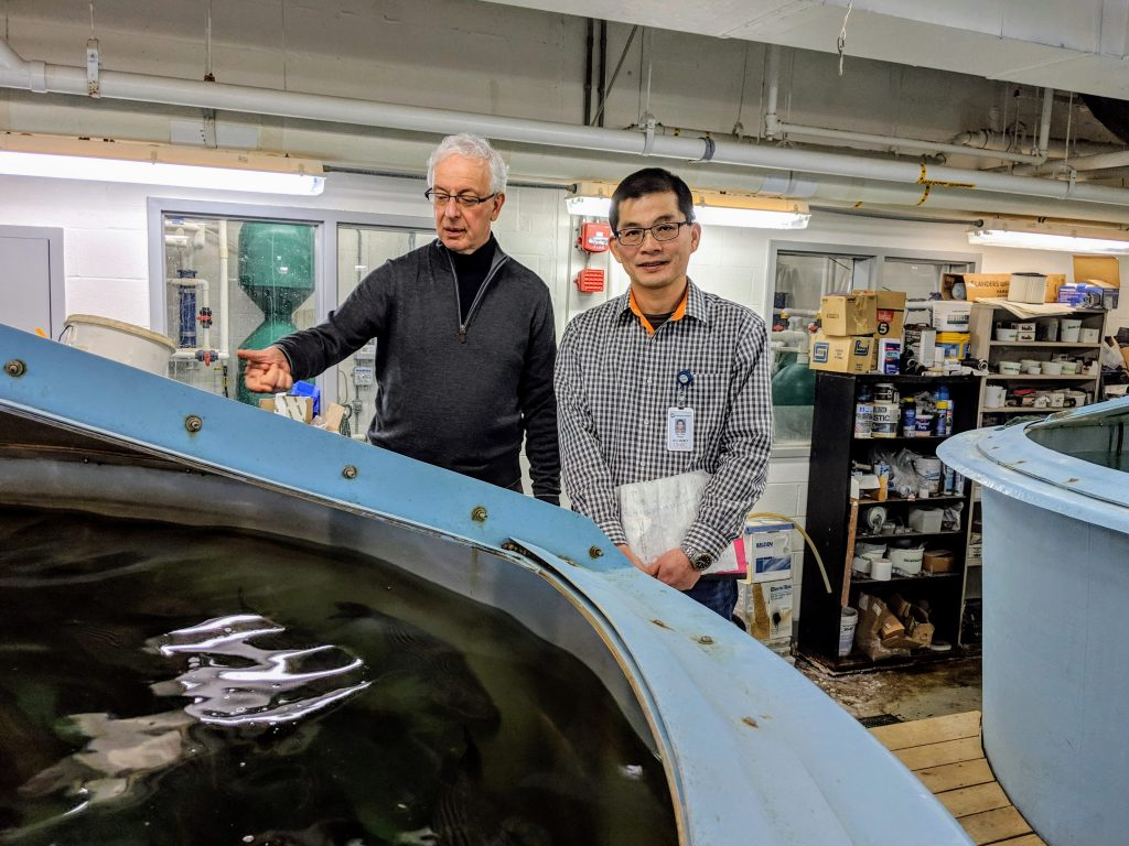 Wong (right) and Zohar observe rockfish in a tank at the Aquaculture Research Center at IMET. Photo by Gary Jones.