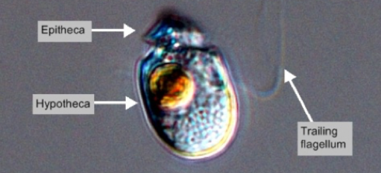 Amphidinium carterae under a microscope
