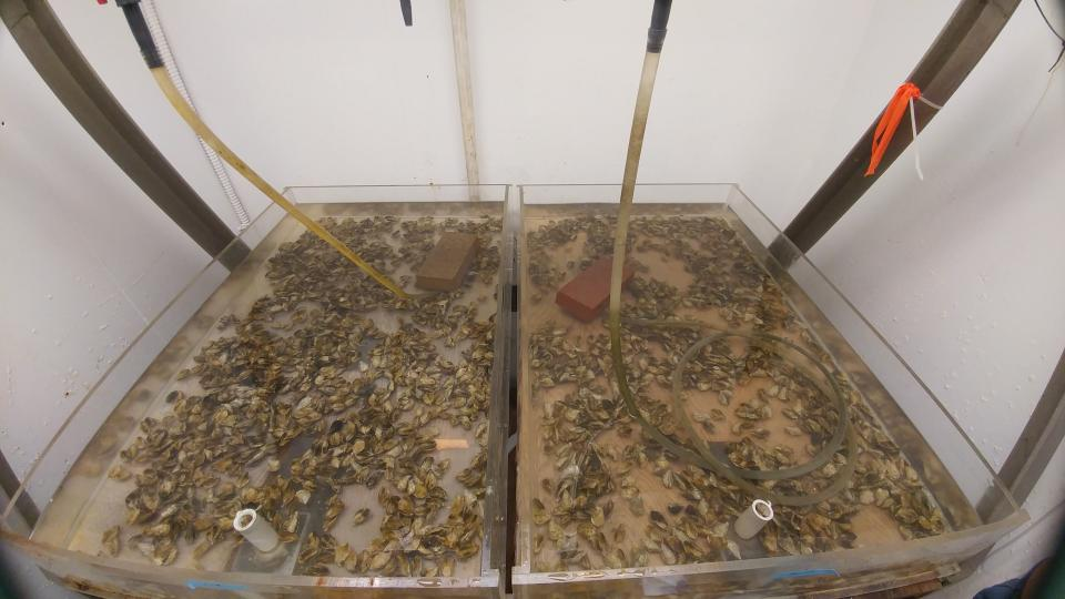 oysters in a lab