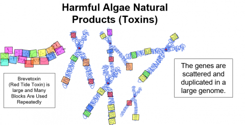 Harmful Algae Natural Products (Toxins) are coded on different sections of the dinoflagellate genome