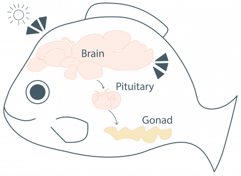 illustration of fish with brain, pituitary, and gonads connected