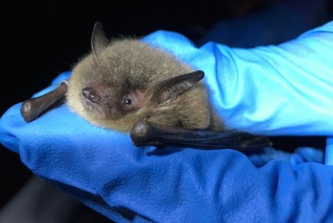 close up of a fuzzy little brown bat