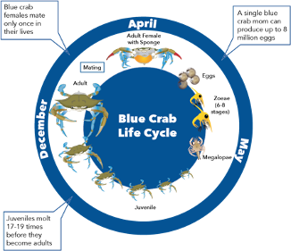 Blue crab life cycle diagram from eggs to zoeae to megalopae to juvenile to adult