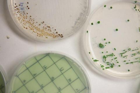 three plates of algae