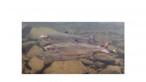 three salmon swimming