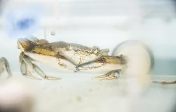 Blue Crab raised at IMET